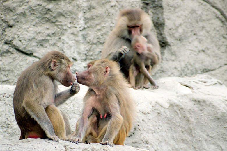 Gossiping baboons