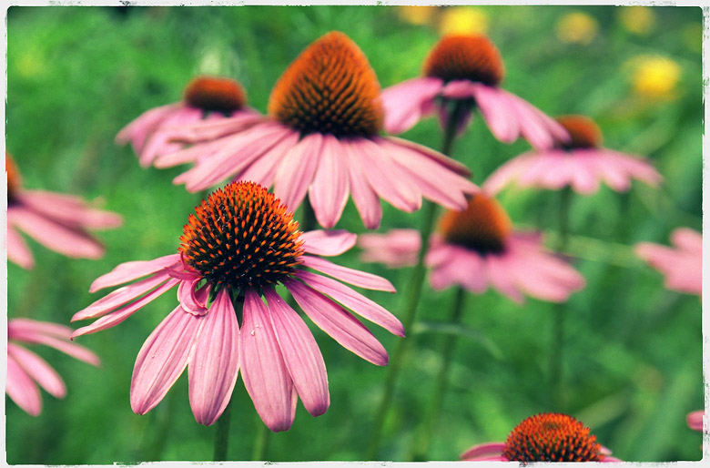 Purple coneflowers #1